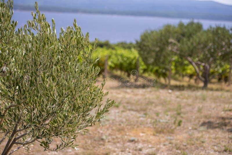 Olives, oliviers, vigne et vignobles d'île dalmatienne Brac, Croatie photographie stock