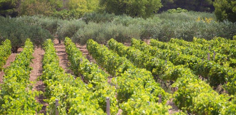 Olives, oliviers, vigne et vignobles d'île dalmatienne Brac, Croatie image libre de droits