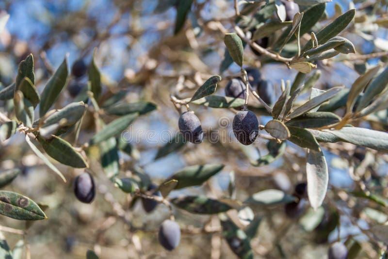 Olives sélectionnant à Bethlehem de la Galilée image stock