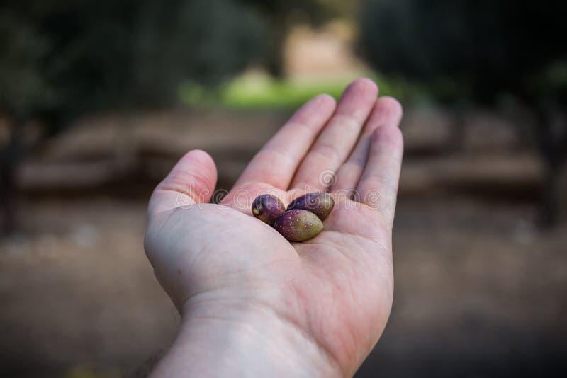 Olives sélectionnant à Bethlehem de la Galilée images stock