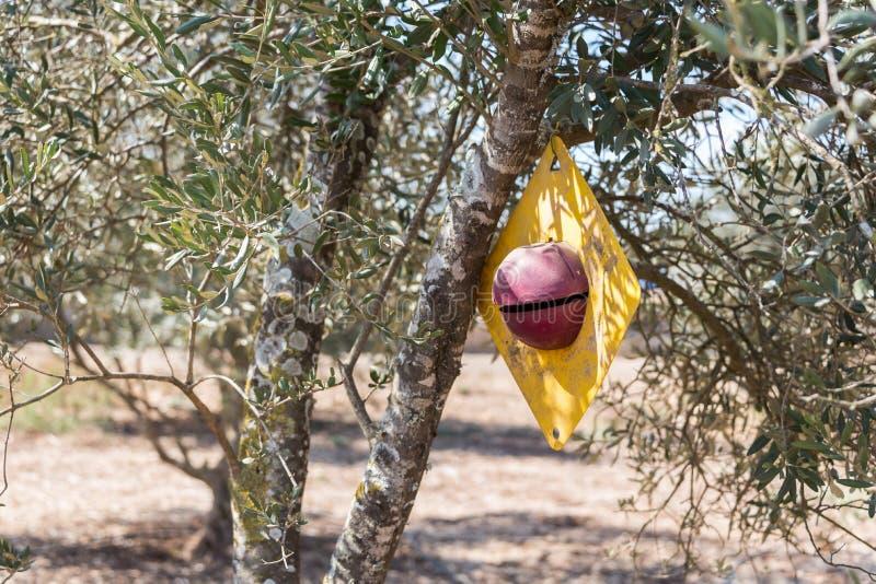 Olives sélectionnant à Bethlehem de la Galilée photo libre de droits
