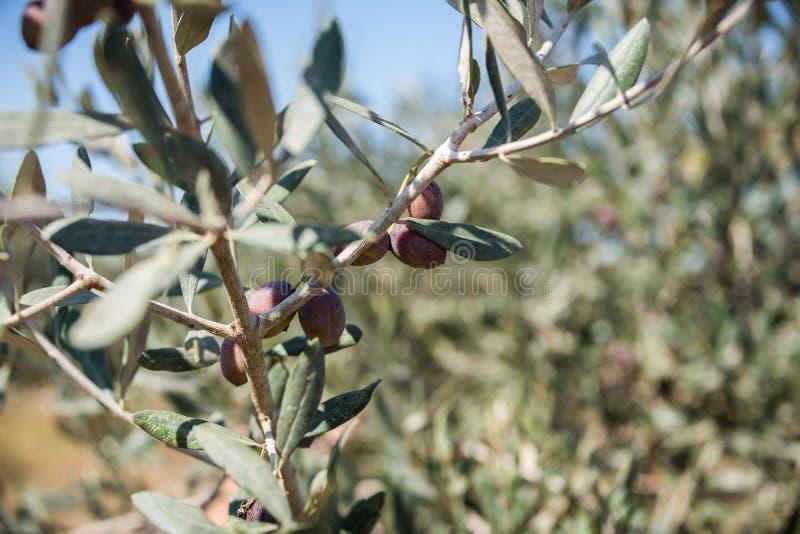 Olives sélectionnant à Bethlehem de la Galilée photo stock