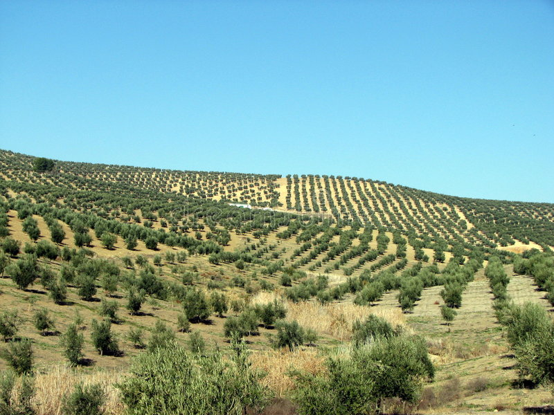 Olives sea in Andalucia 2 royalty free stock images
