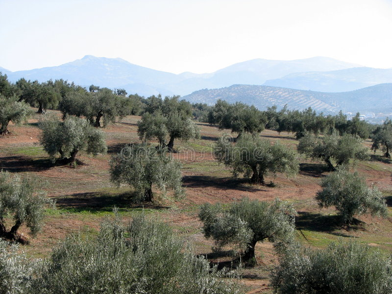 Olives sea in Andalucia 3 stock photo