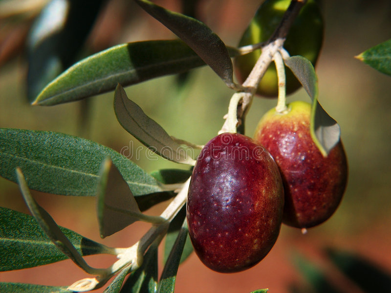 Olives In The Sun stock photos