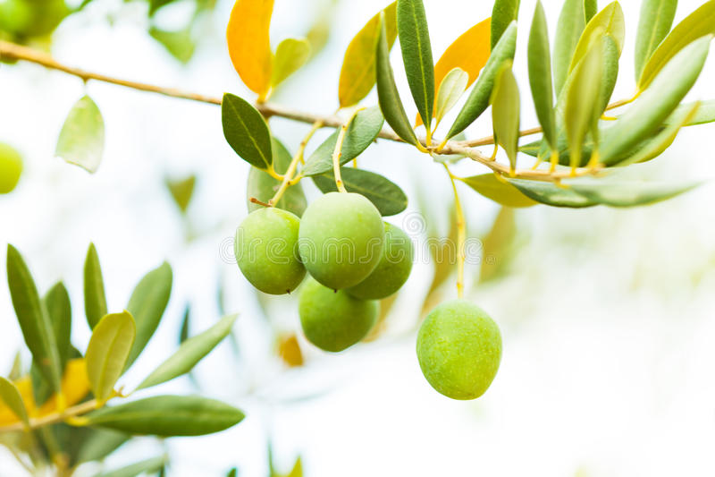 Olives sur la branche d'arbre image stock