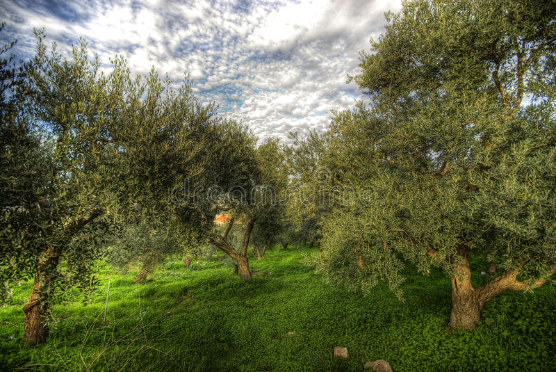 Olives tree in a green field and dramatic sky. Hdr stock images