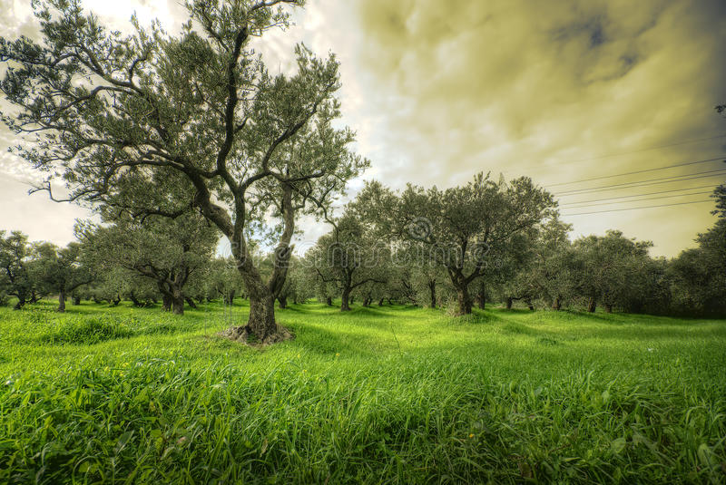 Olives tree in a green field and dramatic sky. Hdr royalty free stock photography
