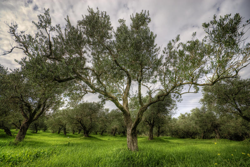 Olives tree in a green field and dramatic sky. Hdr stock photo