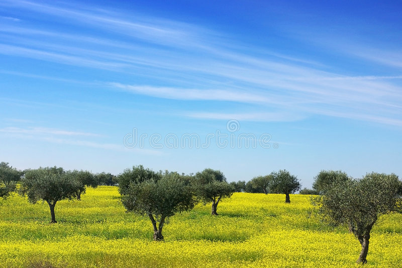 Olives tree in a yellow field. royalty free stock image