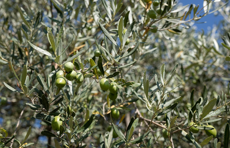 Olives on tress. Green olives on tress, outdoor royalty free stock photo