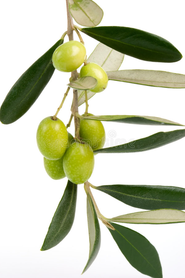 Olives twig royalty free stock images