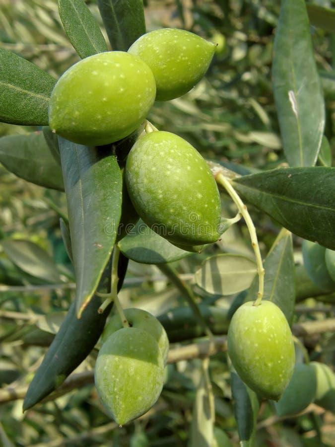 Olives vertes sur le branchement images stock
