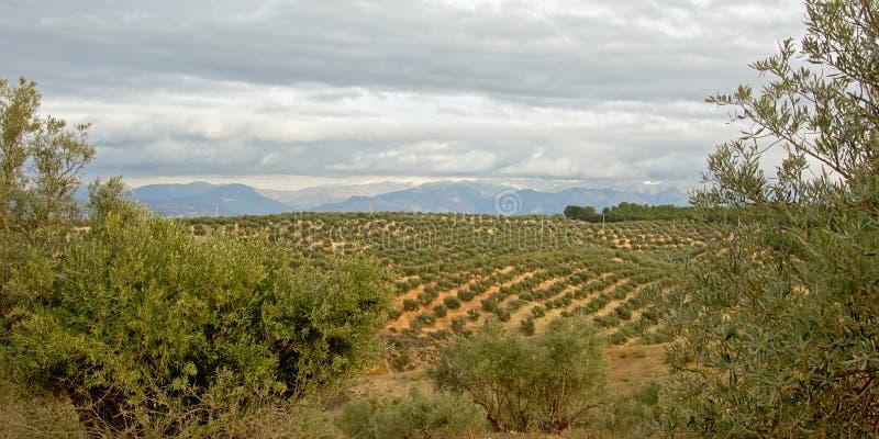 Oliveti, incorniciati dagli alberi, nella campagna andalusa con le montagne nebbiose della sierra Nevada nel backgroud immagini stock