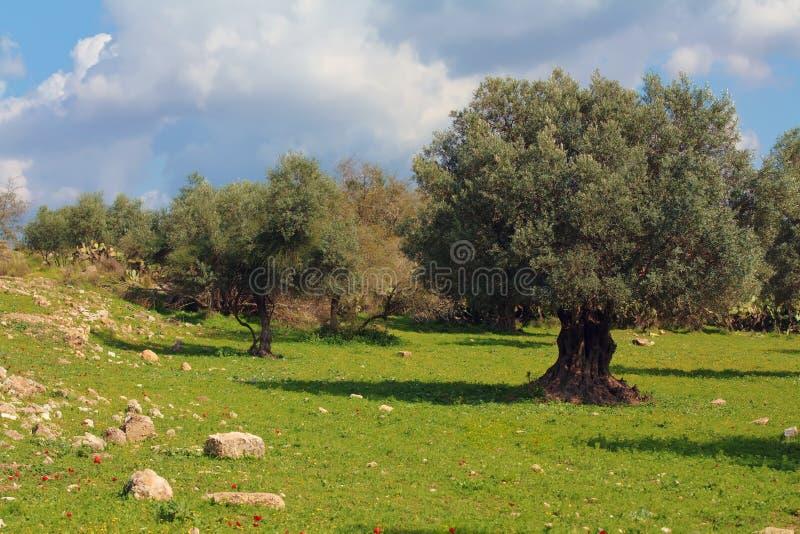 Oliveto nell'Israele fotografia stock libera da diritti