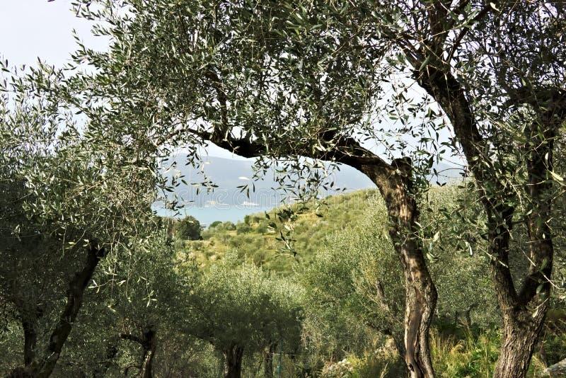 Oliveto sul mare della Liguria immagini stock