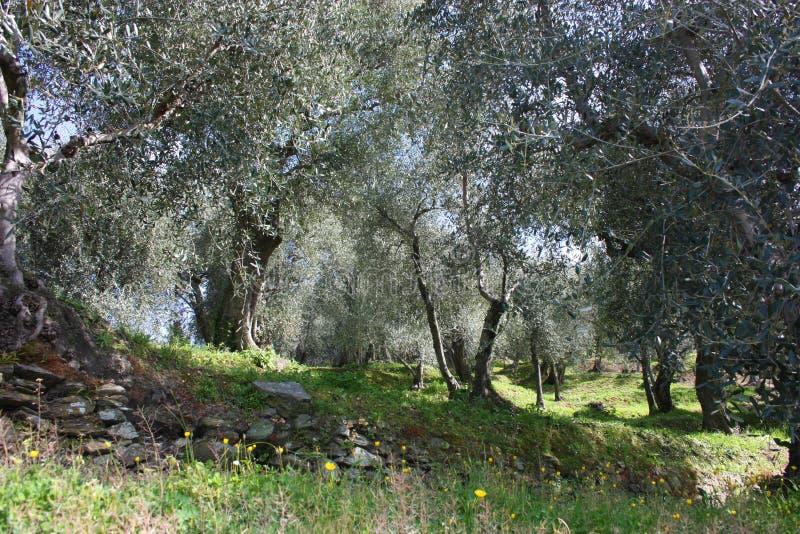 Oliveto verde e grande in pieno, delle piante piene delle foglie e dei frutti di olivo L'arrivo della sorgente fotografia stock libera da diritti