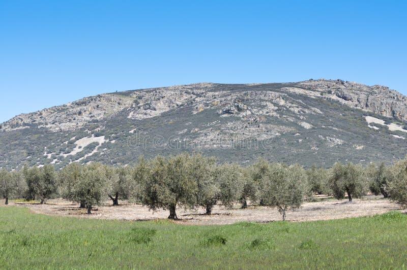 Olivgrön dunge arkivfoton