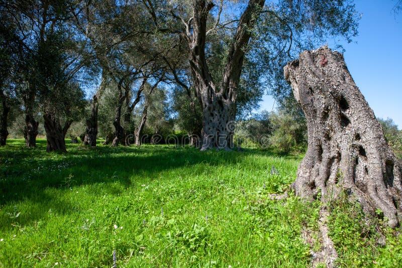 Olivgrön dunge med en liten äng och en snittolivträdstam i Co arkivbilder