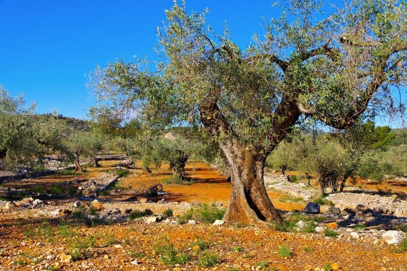 Olivgrön dunge, typisk landskap i Spanien arkivbild