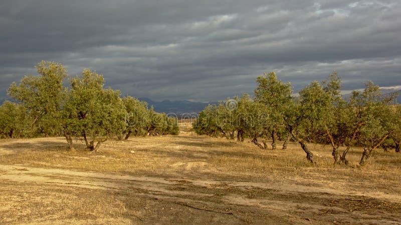 Olivgrön dunge under en mörk grå himmel i den Andalusian bygden med disiga berg av toppiga bergskedjan nevada i backgrouden royaltyfria bilder