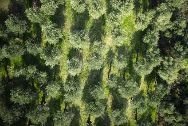Olivgrön dunge Versilia Italien Tuscany royaltyfri bild