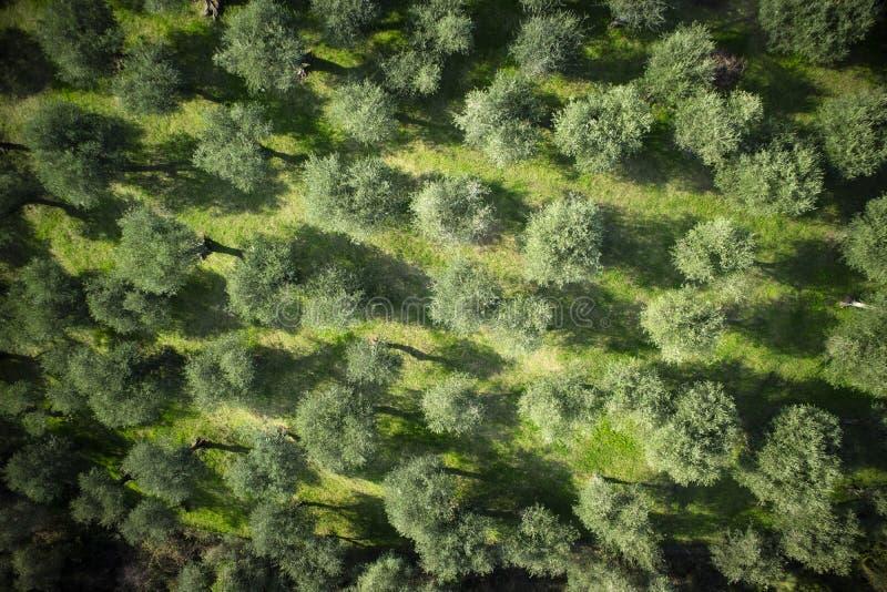 Olivgrön dunge Versilia Italien Tuscany fotografering för bildbyråer