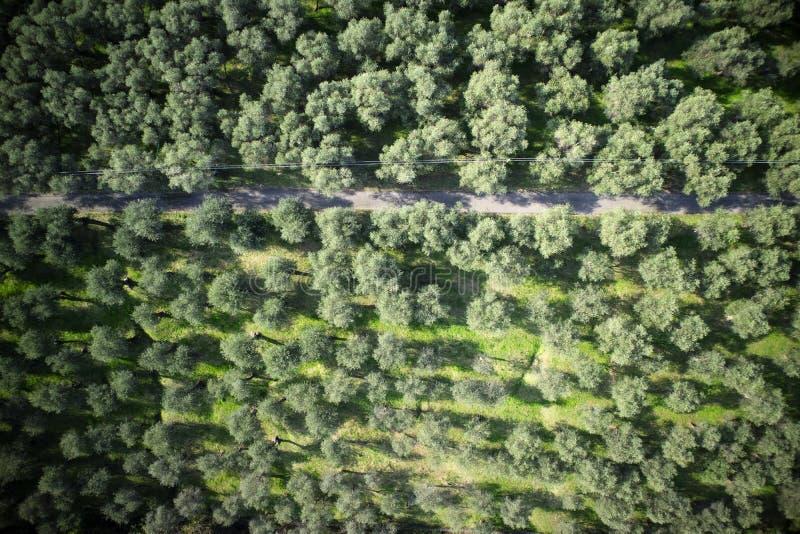 Olivgrön dunge Versilia Italien Tuscany arkivbilder