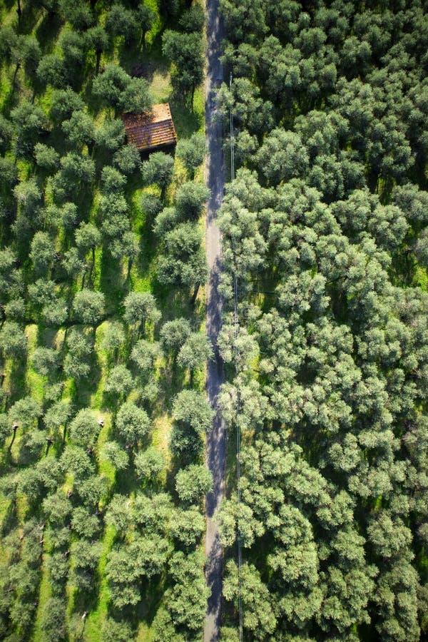 Olivgrön dunge Versilia Italien Tuscany arkivfoton