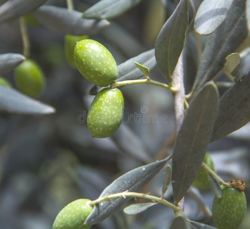 Olivgrön på filial royaltyfri fotografi
