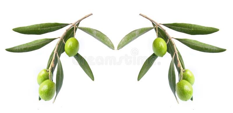 Olivgrön på filial royaltyfri foto