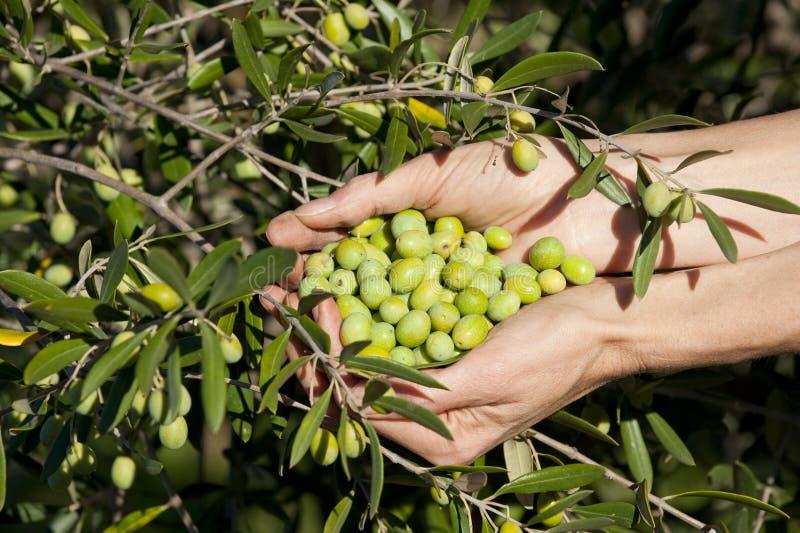 olivgrön tree för grön näve arkivbild