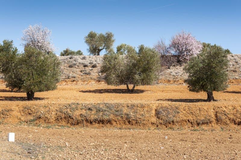 Olivgröna dungar och mandelträd arkivbilder