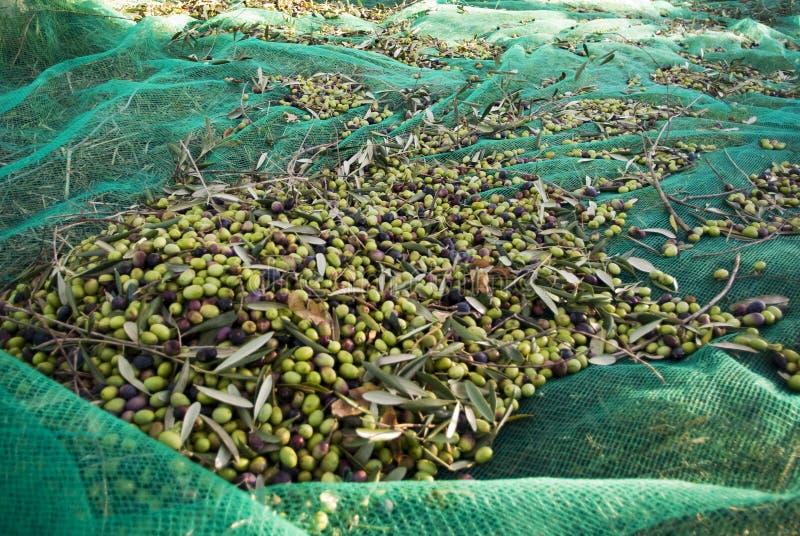 Olivgrüne Ernte stockbild