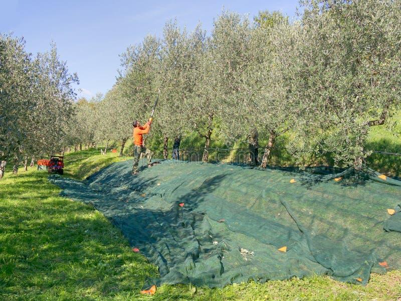 Olivgrüne Ernte, Italien stockfotos