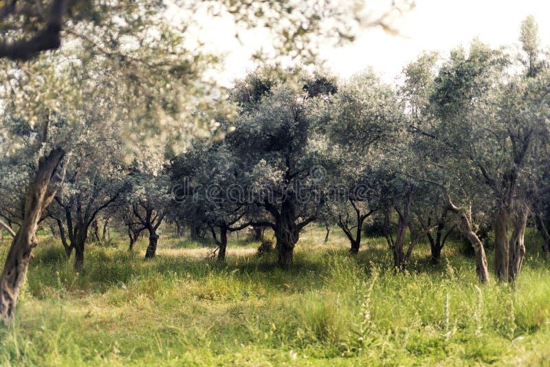 Olivgrüner Bauernhofabschluß herauf Landschaftsim frühjahr Jahreszeit lizenzfreies stockbild
