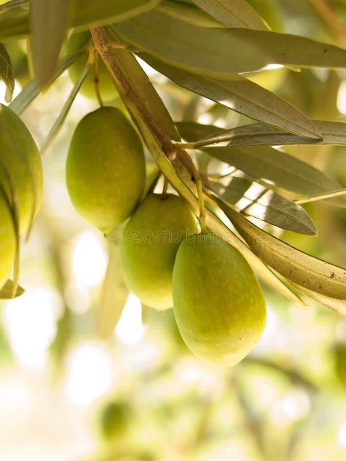Olivgrüner Obstbaum mit Oliven Abschluss oben stockfoto