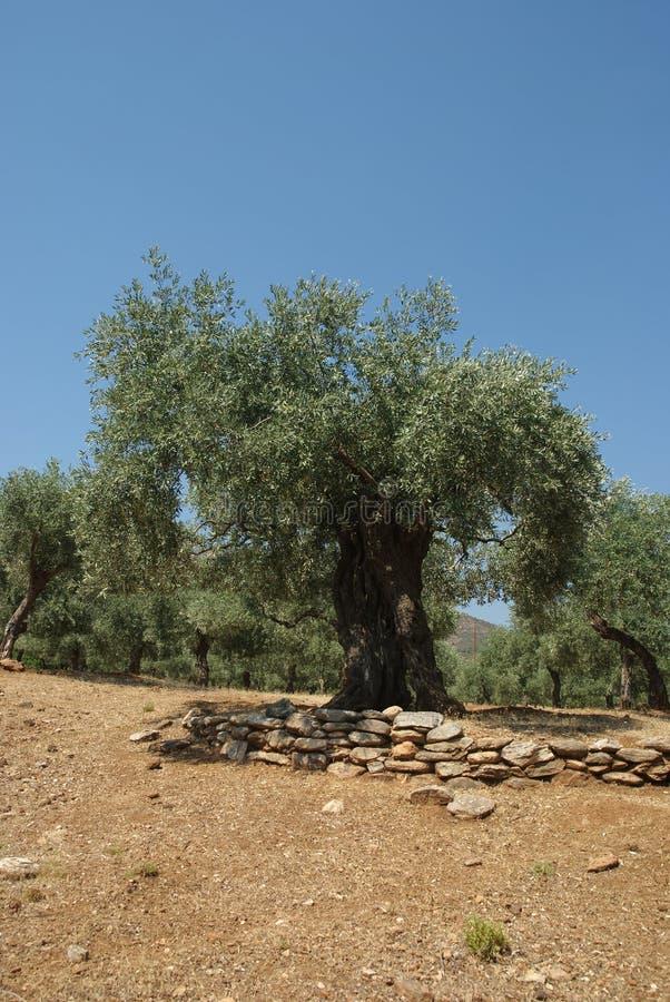 Olivgrünes Pflanzen lizenzfreie stockfotografie