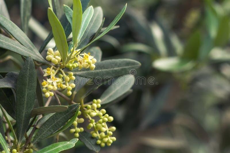 Olivier de floraison image stock. Image du jardin, petit - 117486709