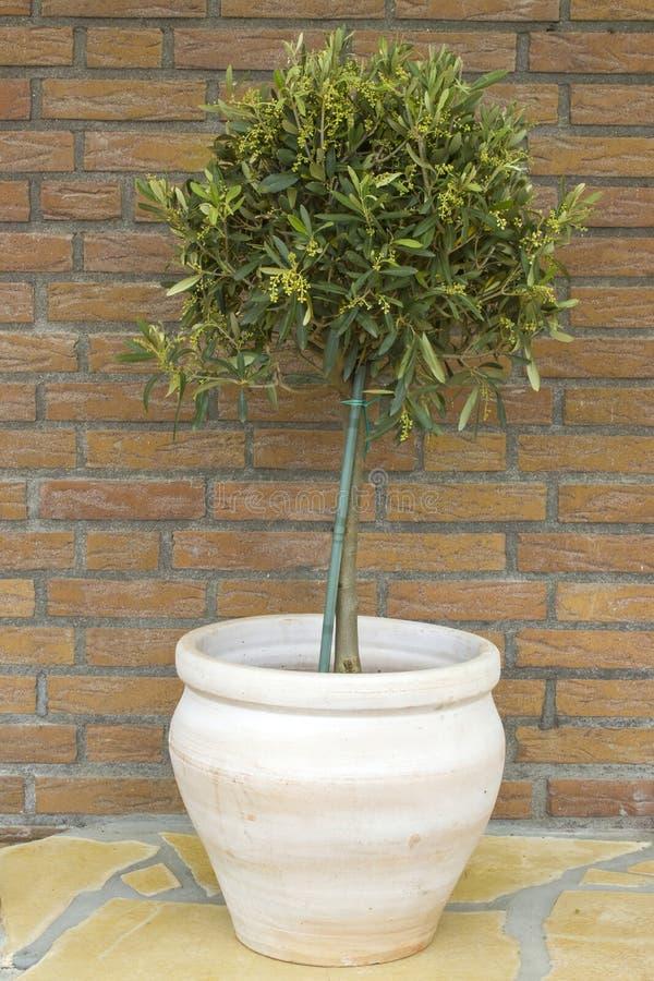 Olivier de floraison image stock. Image du flowerpot - 70932885