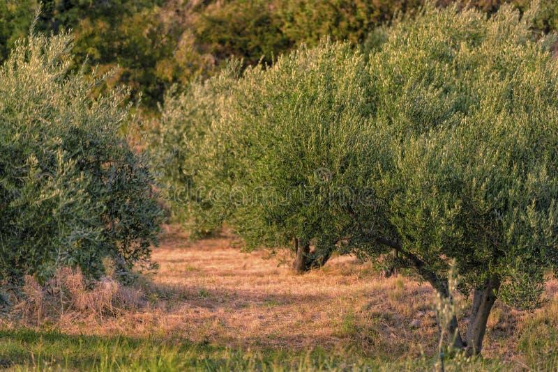 Oliviers au coucher du soleil photographie stock libre de droits