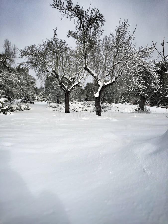 oliviers couverts de neige images libres de droits