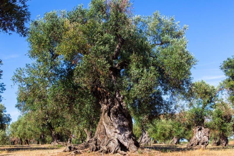 Oliviers dans la campagne de Salento avec des branches atteintes du xylella photo stock