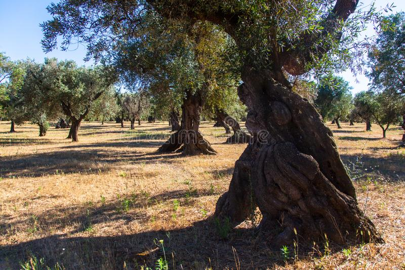Oliviers dans la campagne de Salento avec des branches atteintes du xylella image stock