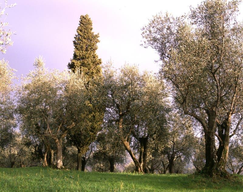 Oliviers de la campagne toscane Paysage avec la culture des oliviers photo libre de droits