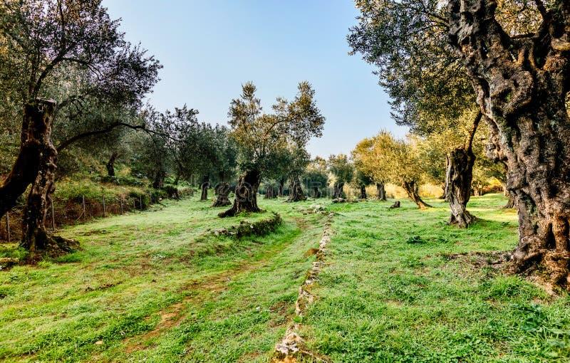 Oliviers en automne dans Valdanos, Ulcinj, Monténégro photo stock