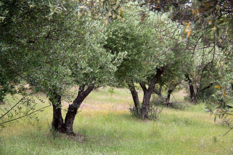Oliviers en Grèce photos libres de droits