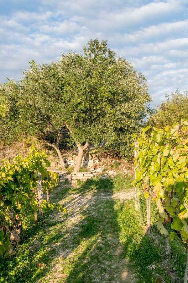 Oliviers et vignoble dans la fin d'été photographie stock libre de droits