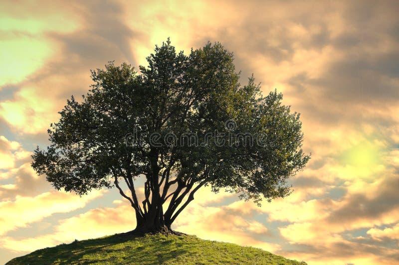 Olivo. imagen de archivo libre de regalías