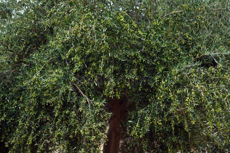 Olivo con las aceitunas en las ramas en Creta fotografía de archivo